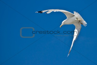 Sea gull flying with blue sky in background