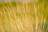 Summer Prairie Grass