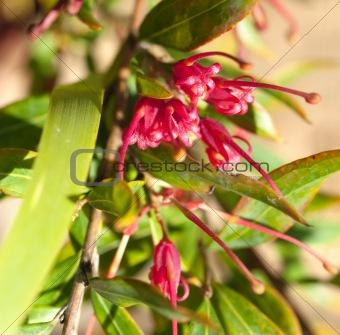 Grevillea splendour red flower of an  Australian native plant
