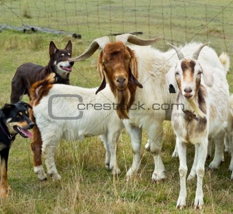 Goats with australian working dogs kelpies