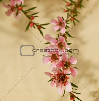 spring flower of leptospermum pink cascade