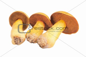 Three Mushrooms. Russula