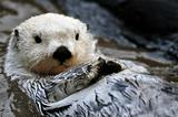 White sea otter