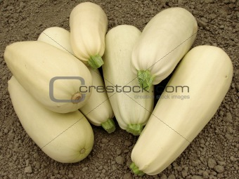 marrows harvest