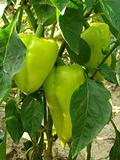 Pepper plant