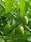 bunch of green tomatoes