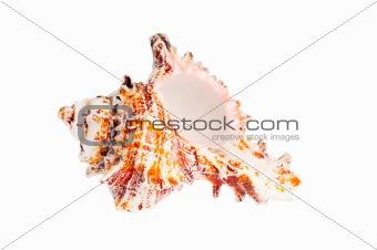 Old seashell