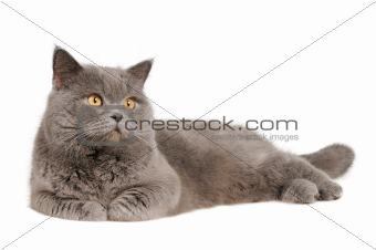 British cat lying and looking upright