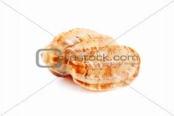 Harpa Kajiyama sea shell