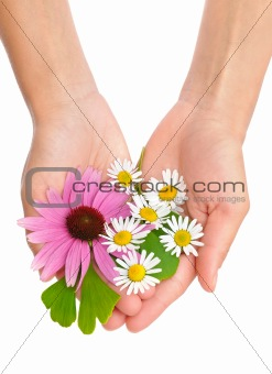 Hands of young woman holding herbs - echinacea, ginkgo, chamomile