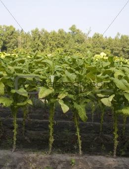 Nicotine crop