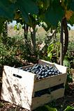 Crate of grapes in vineyards