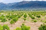tangerine orchard with mountains on background