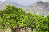 tangerine trees with mountains on background