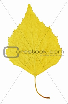Autumn yellow leaf of birch