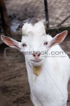 Funny goat