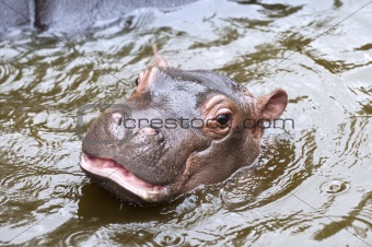 A baby hippo