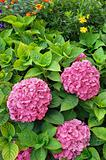 Flowering  Hydrangea macrophylla shrubs in garden