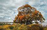 Elm tree in autumn