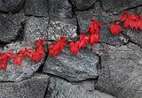 Red autumn plant climbing