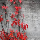 Red climbing plant background