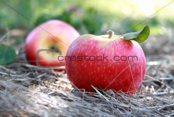 fresh apples