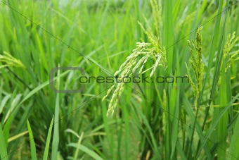 green paddy rice