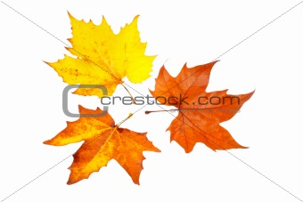 Three maple leaves