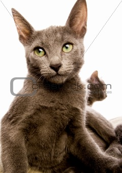 Russian Blue & British Shorthair