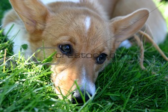 A Young Corgi  Welsh Dog