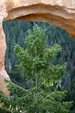 Conifer in front of natural arch