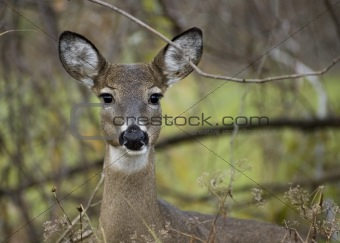 Whitetail Deer  Doe(Odocoileus virginianus)