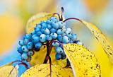 blue berries on the yellow leaves