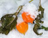 physalis under the first snow