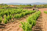 Vineyards in Catalonia