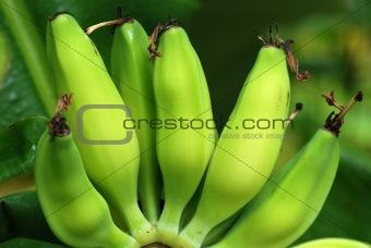 green banana in the gardens