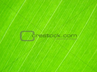 green leaf macro lines