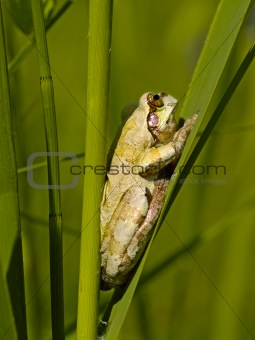 Small frog on reed sheet