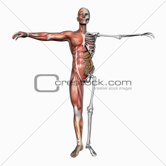 Anatomy muscles and skeleton