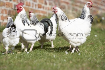 Poultry In Farmyard