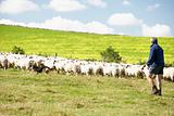 Two Farm Workers With Flock Of Sheep