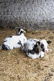Two Calves In Barn