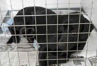 Dog Recovering In Vet's Kennels