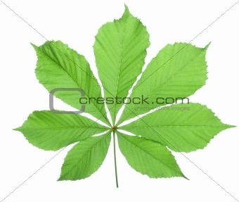 Single horse chestnut leaf(4).jpg