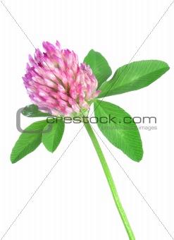 Red clover(4).jpg