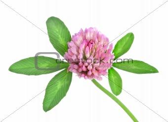Red clover isolated(4).jpg