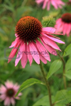 Echinacea Purpurea (Rubinstern)