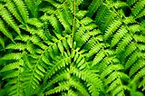 Fern Leaf