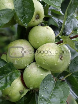 Green apple at the branch