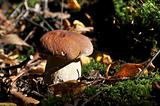 Edible mushroom in the forest